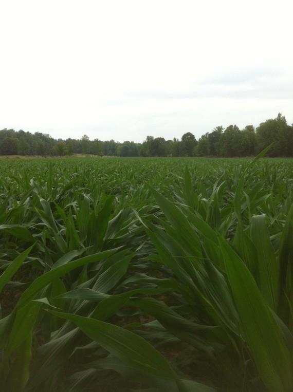corn 6_5